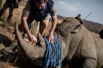 Poachers Cut the Horns of Rhinos & Use Them to Make Natural Viagra & Other Natural 'Remedies'!